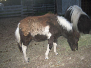 Miniature Filly for sale price reduced Prince George British Columbia image 2