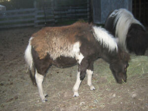 Miniature Filly for sale Prince George British Columbia image 2