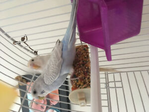 4 mnth old baby budgies