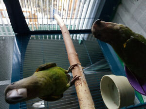 Baby brownhead parrots for sale
