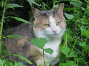 Missing Calico Cat