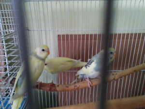 Two months old budgies bebe
