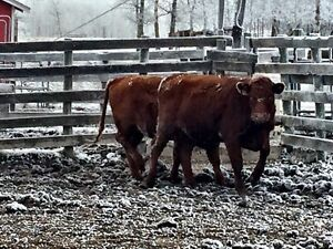 Bred Heifers For Sale  Strathcona County Edmonton Area image 4