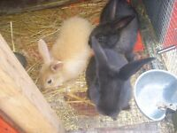 Zealand/Giant rabbits for sale