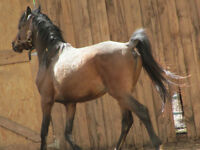 FOR SALE! COLT WITH GREAT BLOODLINES!