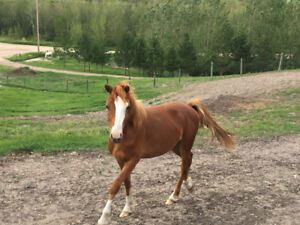 Yearling Welsh Colt for sale