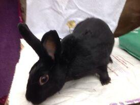 Suki female neutured rabbit