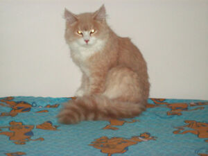 Beautiful  Purebred XL Maine Coon Kittens * Boy * 7 months old