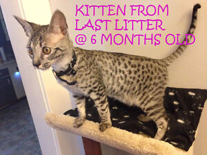 F6 Savannah Kittens avail Similar to bengal cat, only better!!