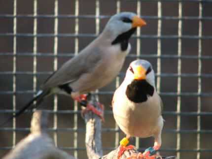 Finch pairs, Longtails, Orange breast, Gouldian and Painted Melton Melton Area Preview