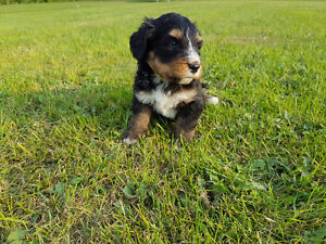 Super cute Bernedoodle Puppies looking for new homes! some left!