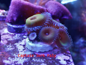 Coral Frags - Zoas and Palys