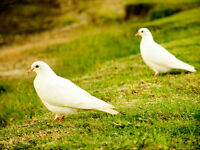 PROVEN PAIR OF YOUNG GORGEOUS WHITE DOVES