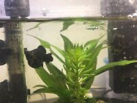 2x inseparable female Molly Mollies - free to good tank