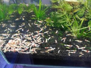 MJ Aquarium  Crystal RED & BLACK shrimp ss+ for sale