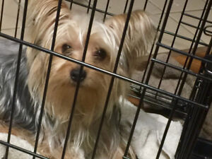 A sweet Yorkie for Christmas.. Yorkshire Terrier Male 1 yr old