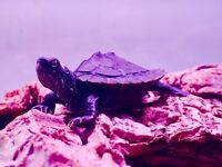 Two baby map turtles, some fish and large full wood setup and accessories