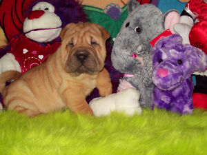 ADORABLE CHINESE SHAR - PEI PUPPIES AVAILABLE