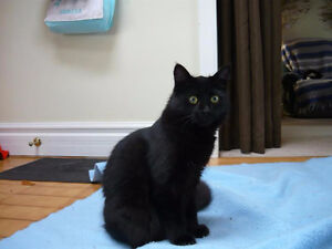 Fuzzy~Black Kitty for Adoption thru KLAWS