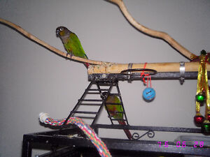 Two Green Cheek Conures with Large Cage Stratford Kitchener Area image 3