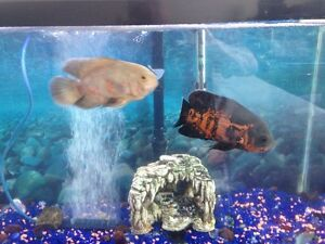 African Cichlids with Tank and Supplies