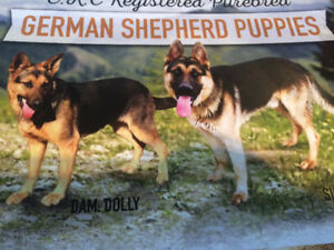 CKC REG PUREBRED GERMAN SHEPHERD PS