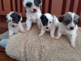 4 Jackapoo Puppys For Sale