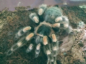 TARANTULA COLLECTION FOR SALE