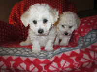 "BICHON -  FRISE PUPPIES ""  SOLD"""