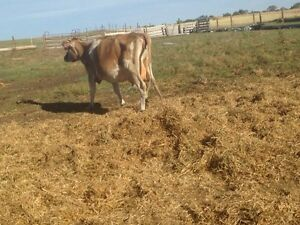 Pure breed Jersey cow