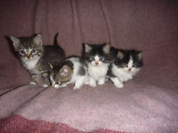 Adorable Tabby, B&W long and short hair kittens!