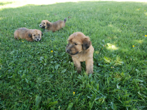 Pure Wheaten Terriers