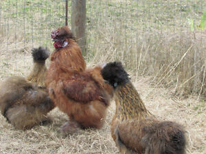 Young Heritage Partridge Silkie Rooster.