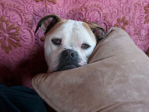 American Bulldog needs love & exercise