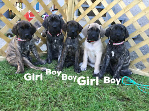 African X English  Mastiff's puppies ( Ready to go )