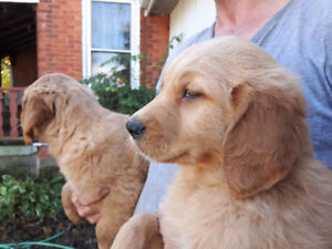 Beautiful Pure Golden Retriever Puppies