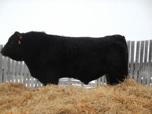 2 year old Simmental and Angus bulls for sale