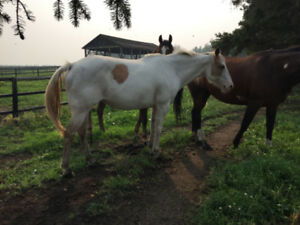 7 year old Quarter Horse Paint Mare for sale