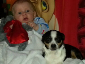 Montie lost chihuahua short haired dog Kawartha Lakes Peterborough Area image 3