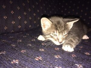Charcoal smoke/marble Savannah cross kittens  Regina Regina Area image 3