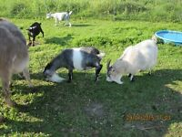 Pigmy Polled Billy Proven Breeder. 1 female pigmy adult as well.