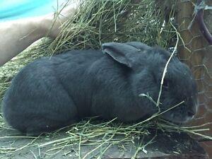 Rabbit - doe + ~10 babies