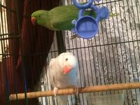 Pair of Indian Ringneck parrots parakeets