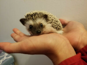 Adorable pygmy hedgehogs ready for a new home