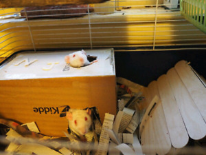 Two double Rex dumbo boy rats to good home