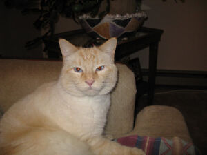 Lost White Flame Point Cat on Larch Ave ,and Shubert Dr
