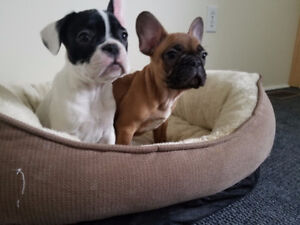 Beautiful males and females  French bulldogs