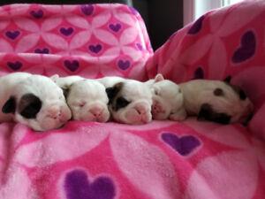 AMAZING English Bulldog puppies,chiots bouledogue anglais