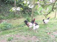 Rooster and two Bantam cross hens