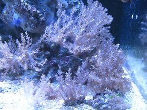 Saltwater corals, liverock and reef sand for sale Cambridge Kitchener Area image 5